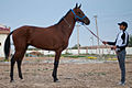 Studfarm in Turkmenistan - Flickr - Kerri-Jo (121).jpg