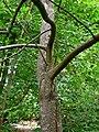 Styrax argenteus 1.jpg