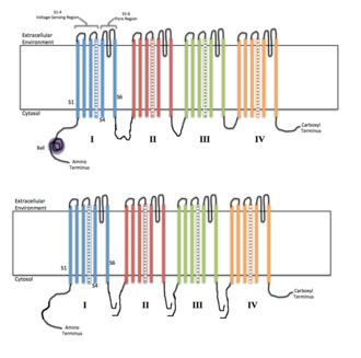 Voltage-gated ion channel - Each of the four homologous domains makes up one subunit of the ion channel. The S4 voltage-sensing segments are shown as charged.