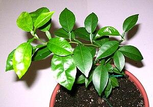 Sudachi - Sudachi seedling 1 year old