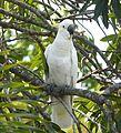 Sulphur-crested Cockatoo .Cacatua galerita - Flickr - gailhampshire.jpg