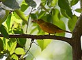Summer Tanager (36831955344).jpg