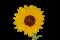 SunflowerIMG 2257 WP2.png