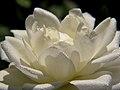 Sunny Raindrops On A Rose (2831999756).jpg