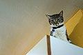 Suri, a female domestic cat with silver in Gran Canaria.jpg
