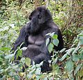 Susa group, mountain gorillas - Flickr - Dave Proffer (17).jpg