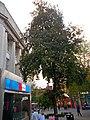 Sutton High Street trees (11).jpg