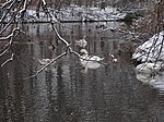 File:Swan couple during Winter Großer Garten 102197370.jpg