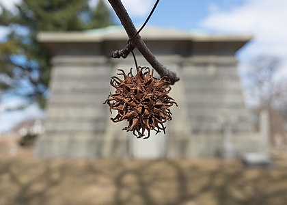 Sweet gum seed pod. Background is a mausoleum in Green-Wood Cemetery (New York)