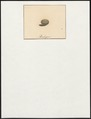 Sylvia spec. - ei - 1700-1880 - Print - Iconographia Zoologica - Special Collections University of Amsterdam - UBA01 IZ16200218.tif
