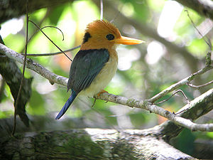 Kingfisher - Like many forest-living kingfishers, the yellow-billed kingfisher often nests in arboreal termite nests.