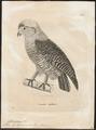 Syrnium leptogrammicum - 1700-1880 - Print - Iconographia Zoologica - Special Collections University of Amsterdam - UBA01 IZ18400171.tif