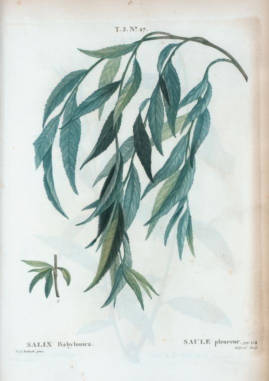 T3 27 Salix babylonica par Pierre-Joseph Redouté.jpeg