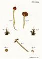 Tab-222b-Agaricus acicula Schaeff.png