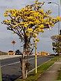 Tabebuia aurea Tree.jpg