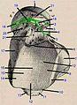Talus, upper face Testut.ro.jpg