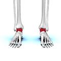 Talus bone 02 anterior view.png