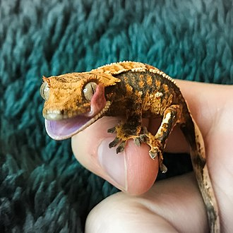 Crested gecko - A captive crested gecko cleaning its eyes.