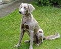 Weimaraner Dog For Sale Nz