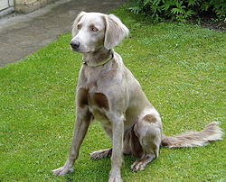 Tara de la Legende de Faublas, a long-haired female Weimaraner (2005).jpg
