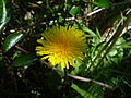 Taraxacum officinale Flower.JPG
