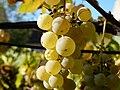 Tarnaveni - harvest - she's ripe - panoramio.jpg
