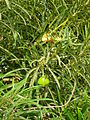Tarrafal-Thevetia peruviana (3).JPG
