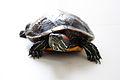 Tartaruga-ouvido-vermelho.jpg