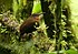 Tawny-throated Leaftosser.jpg