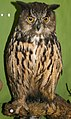 Taxidermied owl in the National Museum of Slovenia.jpg