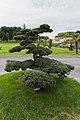 Taxus baccata (If commun) - 20150731 08h56 (10473).jpg