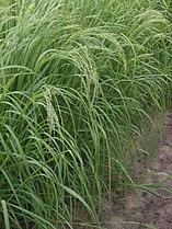 Teff (Eragrostis tef).jpg