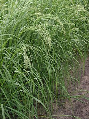 Teff (Eragrostis tef)