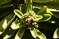Teguise Guatiza - Jardin - Euphorbia neriifolia 04 ies.jpg