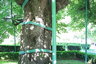 Eminescu's Linden Tree - Image: Teiul lui Eminescu (suporturi metalice) (8)