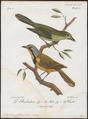 Telophorus gutturalis - 1796-1808 - Print - Iconographia Zoologica - Special Collections University of Amsterdam - UBA01 IZ16600479.tif