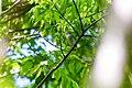 Tennessee warbler (41607064121).jpg