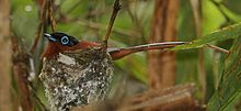 A small bird with a short, thin beak, long tail feathers, a black head, and a blue eye-ring sits in a nest.