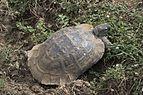 Testudo graeca - Mediterranean Spur-thighed Tortoise 01-3.jpg