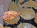Tettigonidae - Typophyllum species.JPG