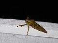 Tettigoniidae sp. (28247797789).jpg