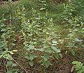 Teucrium scorodonia 02 ies.jpg