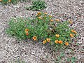 Texas Canyon - Shrubby Purslane.jpg