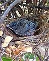 The Birdling.jpg