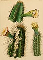 The Cactaceae - descriptions and illustrations of plants of the cactus family (1919) (14779985401).jpg