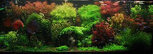 Aquascaping - Dutch style aquascape