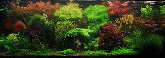 Aquarium densely packed with clumps of fine-leaved plants, some with green leaves and some with red leaves. A large red fish swims at left.