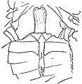 The Eurypterida of New York figure 61.jpg