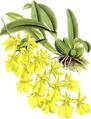 The Orchid Album-01-0008-0001-Oncidium concolor-crop.png