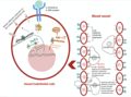 The anti-inflammatory effect of IL-19 in vascular diseases.png